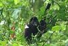 Howler monkey with puppy (Roberto Lauro) Tags: viaggi travel costarica tortuguero tortugueronationalpark foresta forest wildlife monkey puppy blurb blurbbooks blurbbook fotolibro natura nature canon