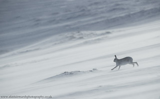 Mountain Hare in Spindrift