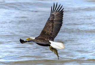 Bald Eagle of The Conowingo