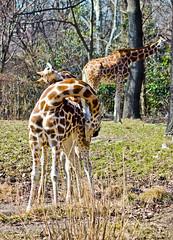 IMG_9584 (Brother Christopher) Tags: brotherchris bronx zoo bronxzoo wildlife giraffe explore inexplore
