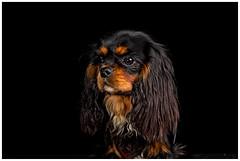 Melody (Pepenera) Tags: cane cani cavalier