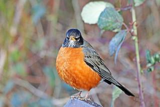 American Robin 18-0218-5171