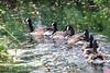 choo choo (Paul Wrights Reserved) Tags: goose geese ghost ghosttrain choochoo choochootrain follow following lead leader bird birding birds birdphotography birdwatching canon