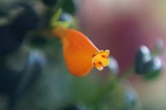 Flower (janrs7) Tags: flower tiny small little indoors succulent plant houseplant macro closeup meritarf2950mm manuelfocus vintage nematanthuswettsteinii goldfishplant candycornplant