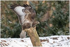 Common Buzzard - Buizerd (Buteo buteo) ... (Martha de Jong-Lantink) Tags: 2018 buizerd buteobuteo commonbuzzard fotohutschaijk schaijk sneeuw