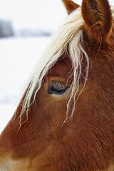 Cheval comtois (rknecht) Tags: cheval horse doubs franchecomté hautdoubs animaux animals nature hiver winter canon650d canon50mm18 profil