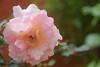 Bunga Mawar (andriyani widyaningtyas) Tags: mawar roses danau beratan pura ulundanu indonesia