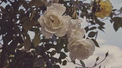 Purity (Vincent Monsonego) Tags: sony α αlpha alpha ilce7rm2 a7rii a7r2 sonyalphadslr sonyalpha fe 2470mm f28 gm 2470mmf28gm sel2470gm flower rain drops