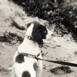 Springer on the beach