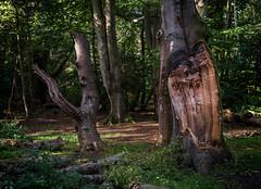 Nationalpark Vorpommersche Boddenlandschaft (berndtolksdorf1) Tags: deutschland mecklenburgvorpommern nationalpark vorpommerscheboddenlandschaft wald bäume buchen forest natur outdoor trees