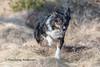 Running (Flemming Andersen) Tags: yatzy dog bordercollie outdoor hund nature pet animal hurupthy northdenmarkregion denmark dk