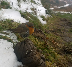 Underfloor Heating!? (EmPhoto.) Tags: robin winter uk bird heatseeking wildaboutnature phonesnap erithacusrubecula notoneforthexmascard nature dung humour