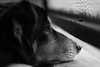 Dog. (Tommaso Davite) Tags: snoopy dog cane puppy animal animals black white blackwhite biancoenero blackandwhite canon canoniani canon77d eos reflex macchinafotografica digitalcamera 50mm f18