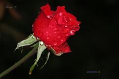 Drops of Love ... (George @) Tags: σταγόνεσ drops passion wet romantic romance red rose rosa flower κόκκινο ρόδο τριαντάφυλλο τριαντάφυλλα spring flowers fiore flora floral αγάπη άνοιξη λουλούδι λουλούδια nature love nectar pollen petal άνθη άνθοσ μπουμπούκι macro closeup touch colours leaf life beauty plants beautiful scent flowering lonely wishes solitude freshness fragility bloom blooming color φύση george papaki eyes photography photografer georgeeyesphotography georgeeyes georgepapaki photografia φωτογραφία perfectgreece 0nlygreece naturegreece naturelovergr visitgreece