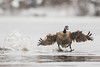 Coming in Hot! (brendon_curtis) Tags: canadian goose geese avian flight landing snow blizzard snowing nature natural animal animals bird birds water pond overcast canon 7dmkii eos usm 500mm f4l is 14xiii teleconverter