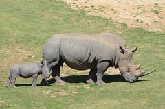 DSC_4655 (Andrew Nakamura) Tags: animal mammal rhino rhinoceros southernwhiterhino whiterhino whiterhinoceros rhinocalf mothercalf grazing sandiegozoosafaripark safaripark escondido