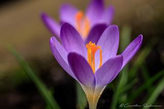 Frühlingsboten2