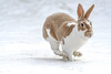 Snow queen Tilly (Paul Wrights Reserved) Tags: rabbit rabbits bunny bunnies pet pets domestic domesticanimal domesticanimals mammal mammals snow snowing run running chasing chase action actionphotography ears ear paw feet nose cute paws fur