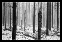 FILM - Barcode forest (fishyfish_arcade) Tags: analogphotography bw blackwhite blackandwhite filmphotography filmisnotdead istillshootfilm ilfordhp5plus monochrome nikkor2880f3556afd nikonf70 analogcamera film mono trees woodland mist snow winter