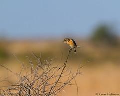 African Stonechat (leendert3) Tags: leonmolenaar nature wildlife southafrica krugernationalpark birds africanstonechat ngc naturethroughthelens coth5