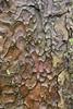 Borke einer Rosskastanie (Aesculus hippocastanum) im Schlossgarten; Schleswig (11) (Chironius) Tags: schleswig schleswigholstein deutschland germany allemagne alemania germania германия niemcy borke rinde ladrido écorce corteccia schors кора hout bois holz wood legno madera rosids malvids sapindales seifenbaumartige sapindaceae seifenbaumgewächse hippocastanoideae rosskastaniengewächse aesculus rosskastanie baum bäume tree trees arbre дерево árbol arbres деревья árboles albero árvore ağaç boom träd