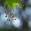 Japanese Maple blooming...squared (al-ien) Tags: mymorningwalk myplace maple japanesemaple