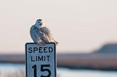 Sinepuxent (martytdx) Tags: birds birdofprey owl snowyowl buboscandiacus female bubo strigidae sinepuxent brigantine edwinbforsythenwr forsythenwr nj nwr birding