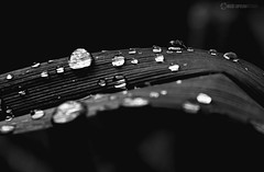 Teardrops (owdtwobad) Tags: closeup raindrop water leaf nature blackandwhite shadow light greyscale life plant flora planet earth