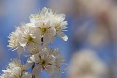 カラミザクラ Chinese sour cherry (takapata) Tags: sony sel90m28g ilce7m2 macro nature flower sakura