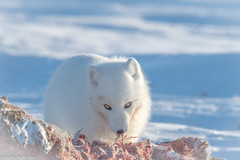 Arctic fox (Nedko Nedkov) Tags: canada manitoba snow wapusk wapusknp polarfox white wildlife winter