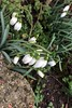 love those! (domit) Tags: perce neige thune france winter flowers