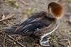 Hooded merganser (PChamaeleoMH) Tags: anatidae birds centrallondon ducks hoodedmergansers london stjamesspark