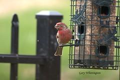 Bad Eye Bird_9655 (Porch Dog) Tags: 2018 garywhittington nikond750 nikkor 200500mm birdfeeder backyard home feathers wildlife nature