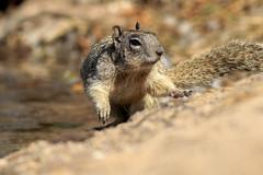 Squirrel (gilamonster8) Tags: squirrel lake pond ngc animal explore eos explored ef400mm56l arizona quality water ground flickrelite 7dmarkii bokeh beyondbokeh