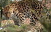 amurleopard Blijdorp BB2A9364 (j.a.kok) Tags: leopard panter panther luipaard amoerpanter amurleopard amurpanther pantherapardusorientalis animal asia azie mammal zoogdier dier blijdorp kat cat feline predator