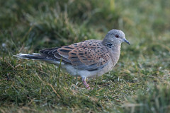 Turtle Dove, Pilling Lane (Fylde Bird Club) Tags: beachroad turtledove
