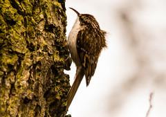 Tree creeper (Andrew-Jackson) Tags: birds nature yorkshire treecreeper bird wood tree