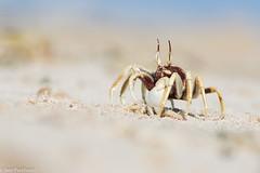 Horn-eyed Ghost Crab (Ocypode ceratophthalmus) (BenParkhurst) Tags: coralcoast sand outback benparkhurst ghostcrab beach eyestalks eyes wildlife animal colour saltwater gnaraloostation westernaustralia ocean ocypodeceratophthalmus horneyedghostcrab wild crab water 2017 wa fauna claw australia invertebrate