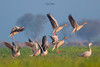 Greylag Geese (Irtiza Bukhari) Tags: birdsofprey birdsofpakistan wildlifeofpakistan colors ducks waterfowl birds takeoff feathers greylag geese goose wildbird nature beauty pakistan wwf bukhari irtiza irtizabukhari his beaut