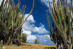 cactus forest (Plamen Troshev) Tags: caribbean cactus forest sky clouds blue santa lucia yellow grass green explore nature new
