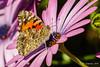 West Coast Lady (Bob Gunderson) Tags: butterflies california fortmason insects northerncalifornia sanfrancisco westcoastlady wildlife