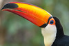 Toco Toucan. (LisaDiazPhotos) Tags: toco toucan parker aviary lisadiazphotos sdzsafaripark sdzoo sdzsp sandiegozoo sandiegozooglobal sandiegozoosafaripark