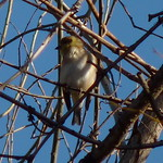 American Goldfinch thumbnail