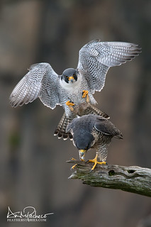 incoming peregrine falcon