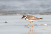Little Ringed Plover (Tris Enticknap) Tags: africa plovers nikond500 commonringedplover tanjibeach thegambia kombosouth charadriushiaticula
