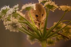 Say No Evil !! (kitwilliams91) Tags: harvest mouse micromysminutus tiny mammal cute canon 5d