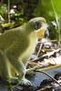 DUV_0789r (crobart) Tags: green monkey welchman hall gully barbados caribbean island jungle