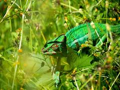 (An Arzhig) Tags: caméléon endormi panasonic gx800 réunion lumix animal nature green vert colour island