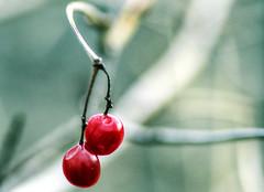 red pearls (DeZ - photolores) Tags: nature guelphcanada berries bokeh hdr nikon nikond610 tamron90mmf28 trees dez
