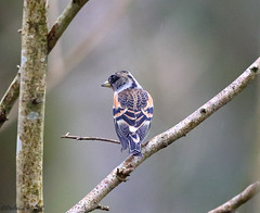 Brambling Male (Georgiegirl2015) Tags: brambling finches finch wildlife avian wales woodlands winter forest forestganol birds bbcwalesnature dellalack march2018 male trees deciduous woods canon countryside visitor ef300mm